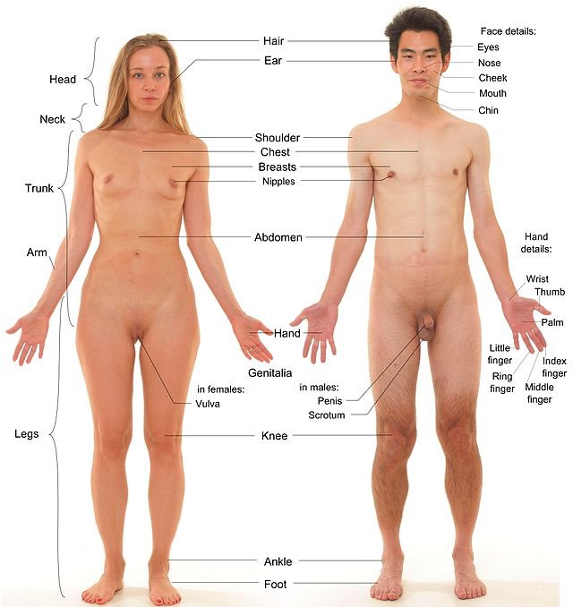 Anterior_view_of_human_female_and_male,_with_labels-private